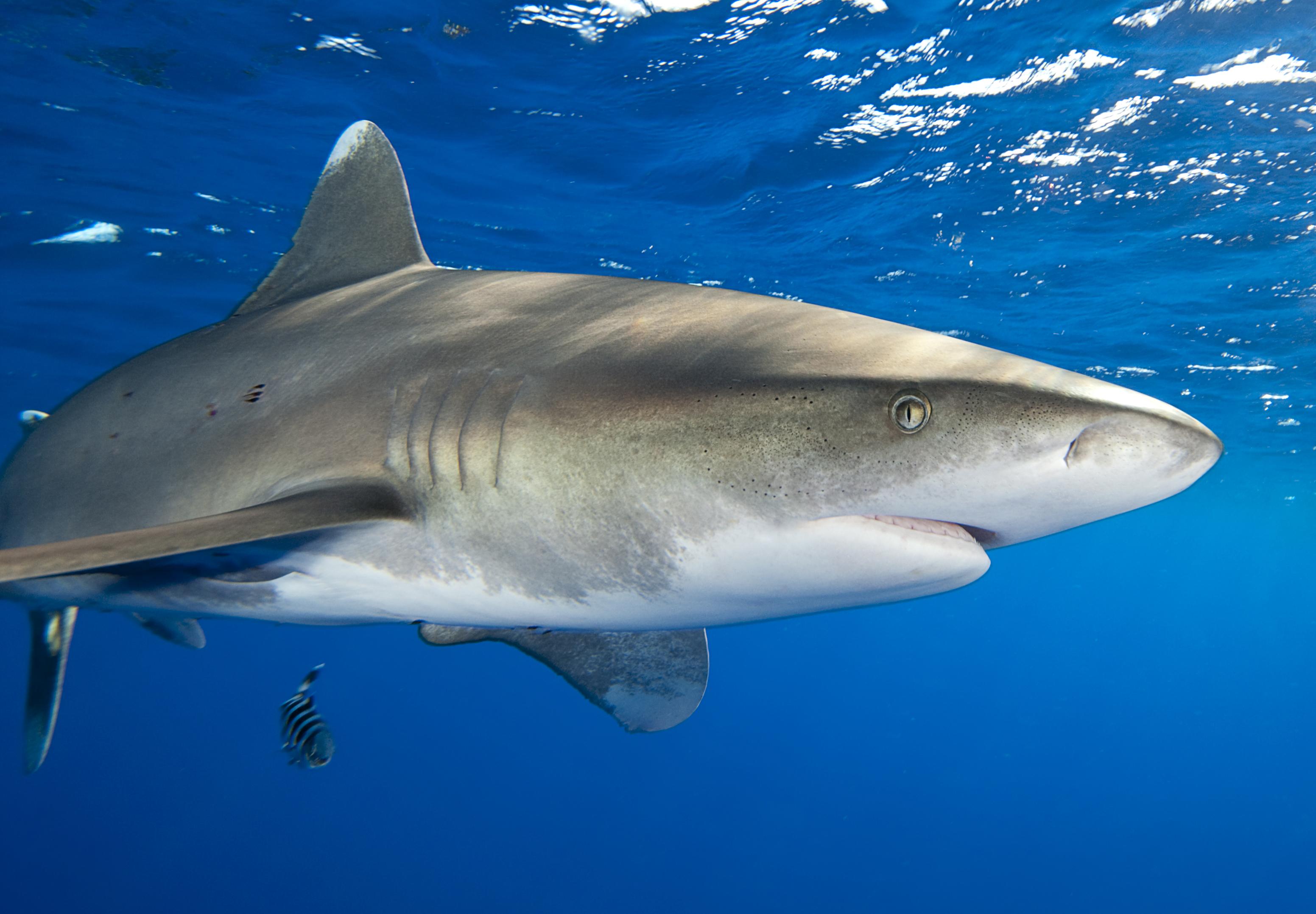состав древних акулы виды акул фото флизелиновой или
