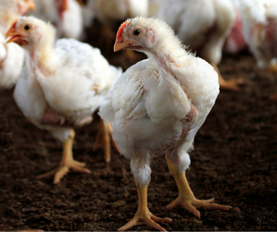 Broiler Chickens Animal Liberation Queensland