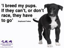 Greyhound racing puppy