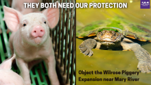 Pigs and Mary River Turtle both need our protection