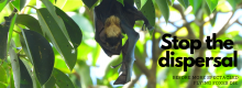 Flying foxes - stop the dispersal