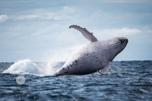 Whale off the Gold Coast - Rebecca Griffiths Photography