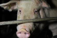 Photo from a Queensland Piggery, 2013
